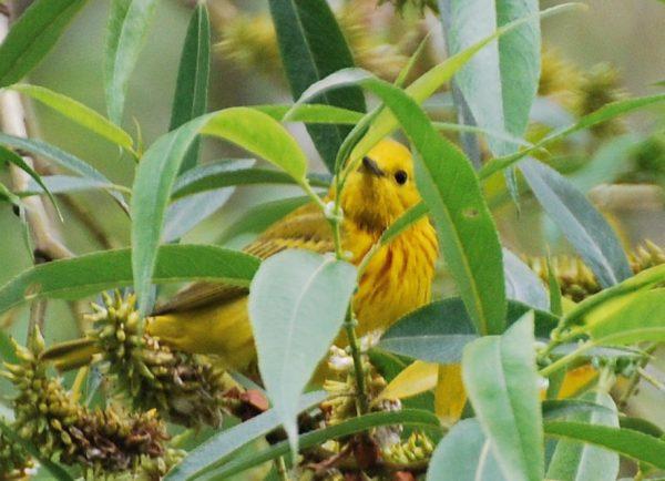 Yellow Warbler (Photos by Carol Riddell)