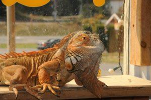 An iguana.
