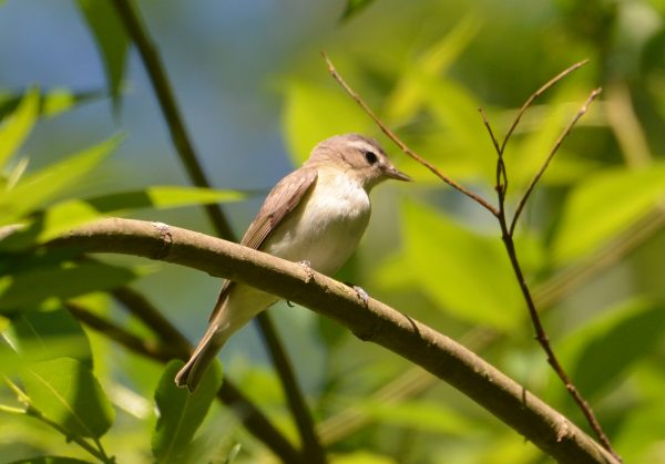 Warbling Vireo (Photos by Carol Riddell)