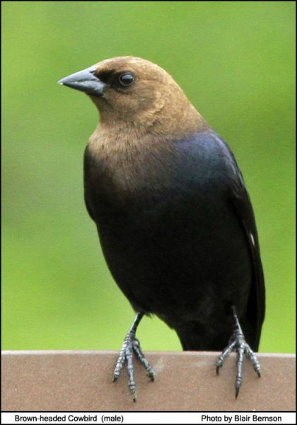 Brown Headed Cowbird_1