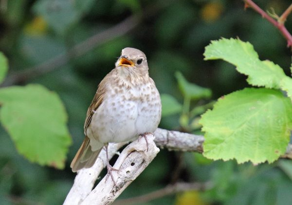 Swainson's Thrush (Photos by Blair Bernson)