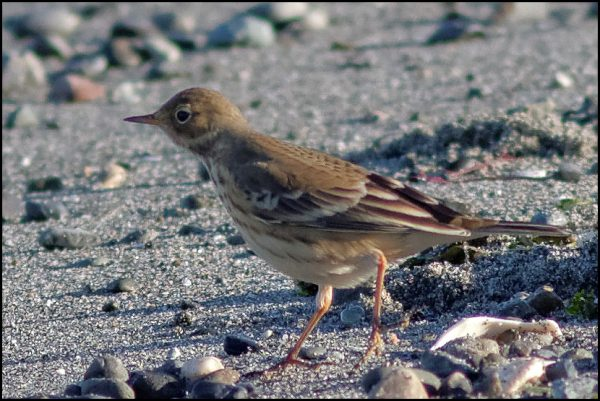 American Pipit (Photo by LeRoy VanHee)