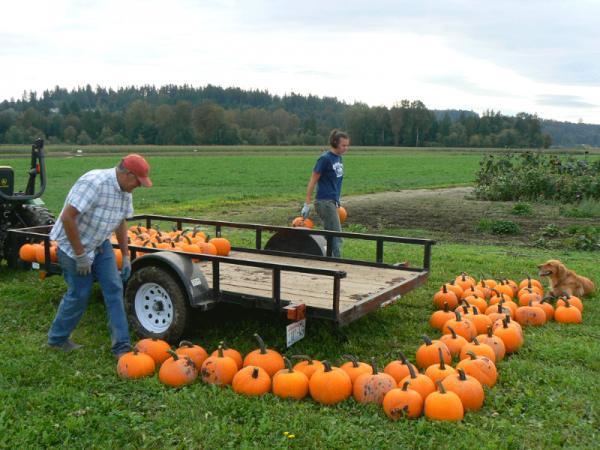 Plenty of pumpkins at Bailey Vegetable Farm.