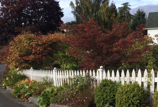 Good Trees For Urban Gardens Japanese Maples So Much To Choose