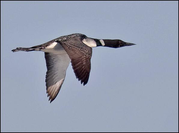 Common Loon (Photo by LeRoy VanHee)