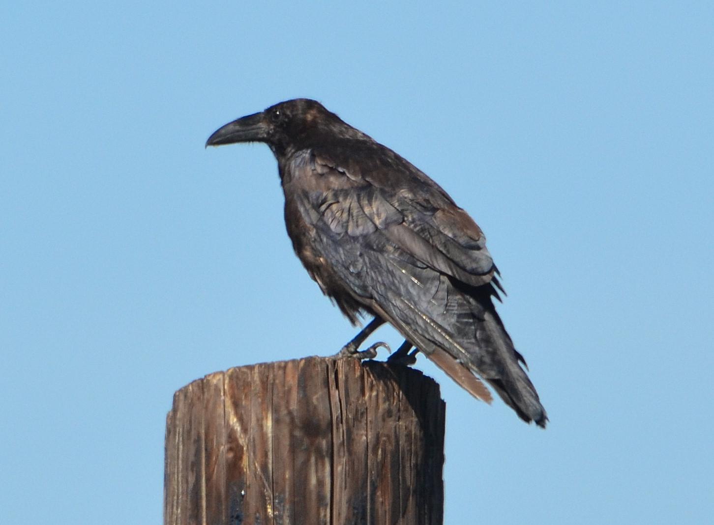 Bird Lore: Common Raven - My Edmonds News