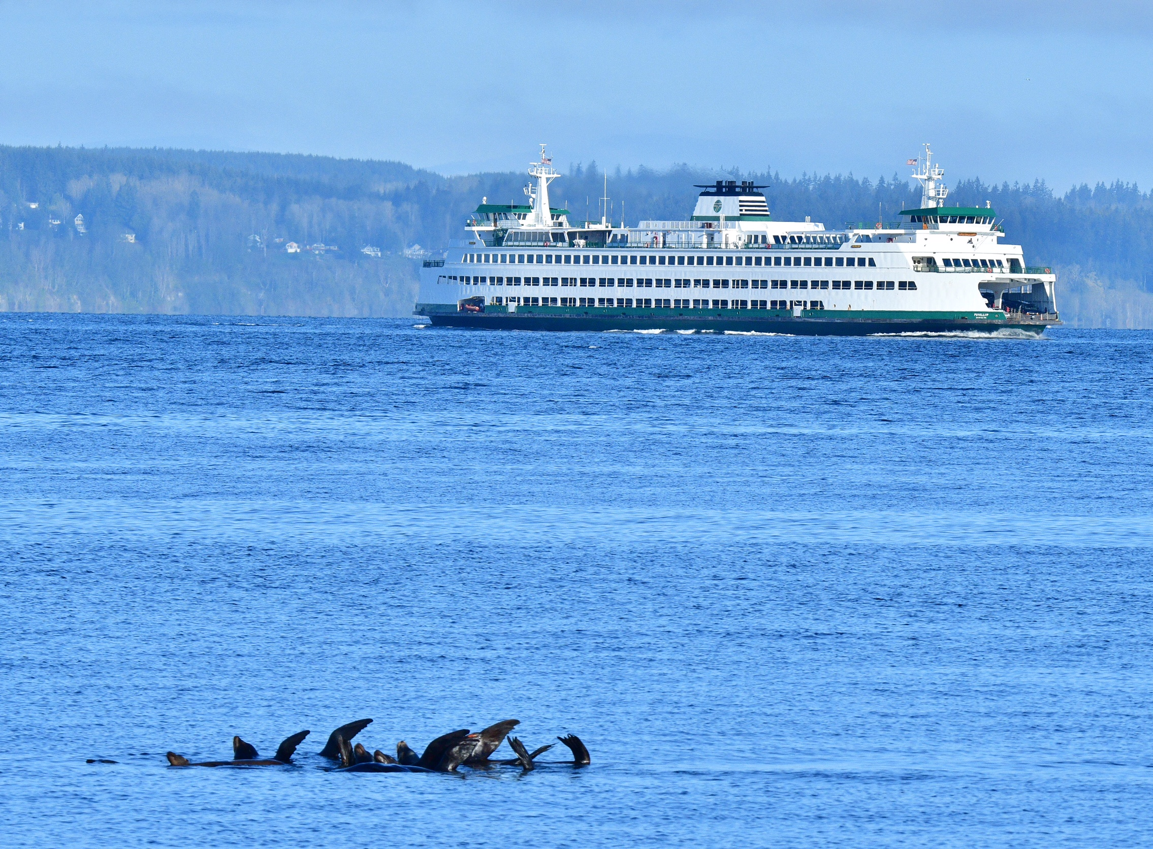 Scene in Edmonds: A lovely day for sea lions at play - My Edmonds News
