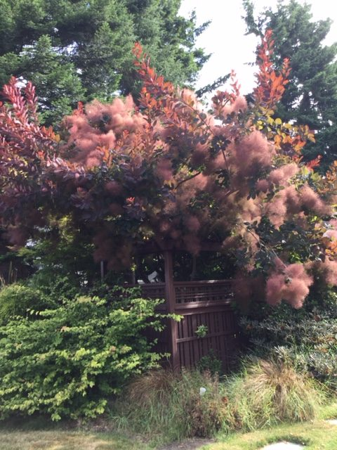 Good Trees For Urban Gardens Low Maintenance Smoketree Ideal For