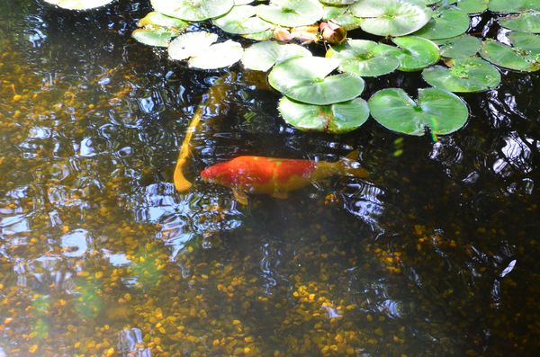 Celebrate beautiful gardens art and music all day sunday for Koi pond music