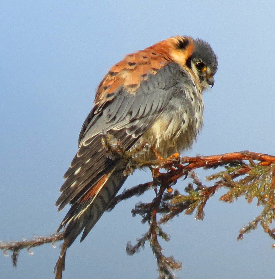 Bird Lore American Kestrel My Edmonds News