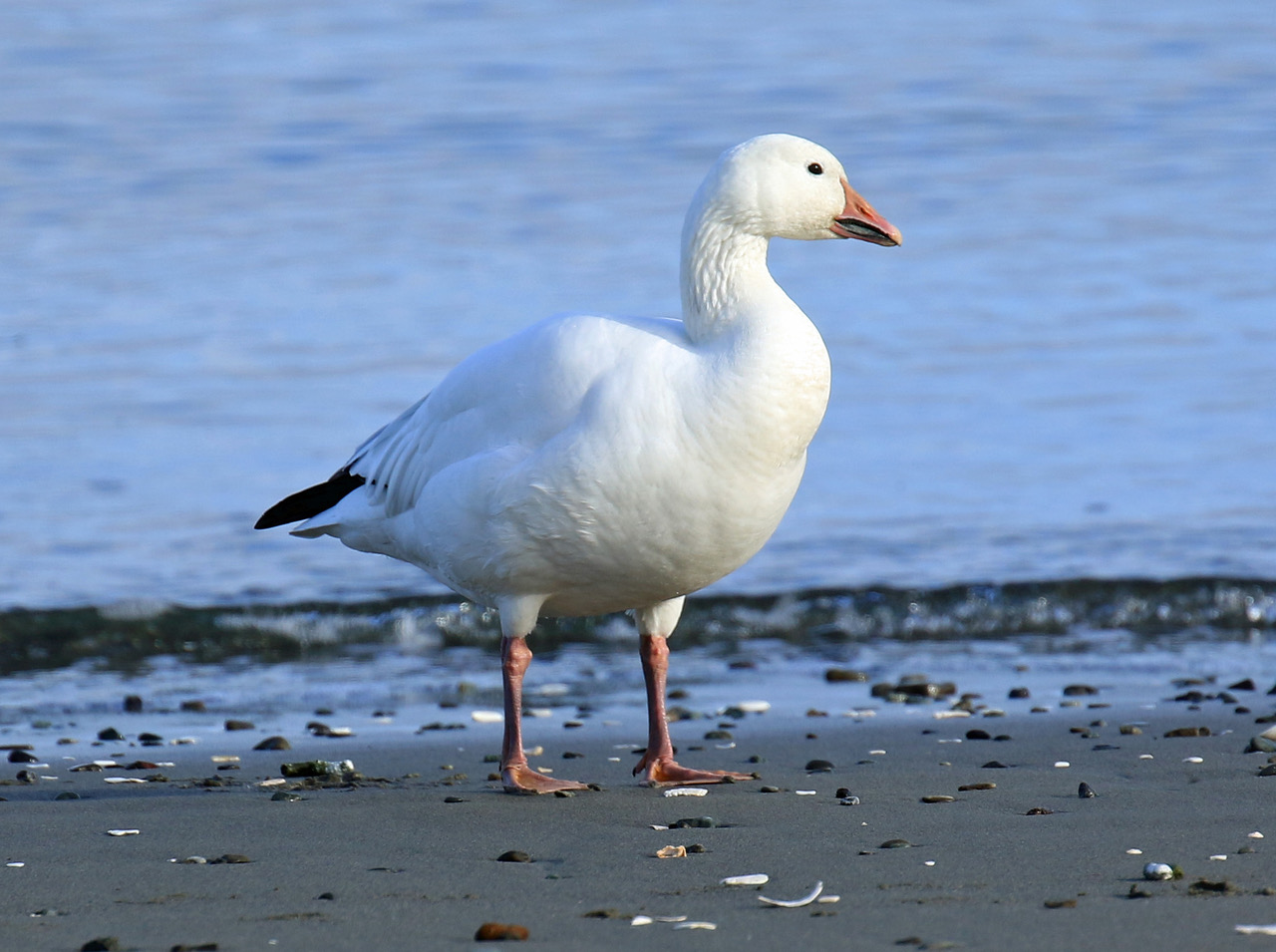 bird lore snow goose my edmonds news
