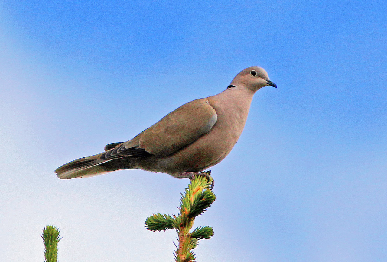 bird lore eurasian collared dove my edmonds news