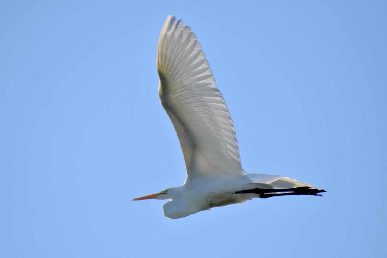 Bird Lore Great Egret My Edmonds News