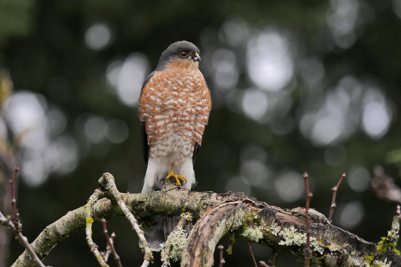 Bird Lore Sharp Shinned Hawk My Edmonds News