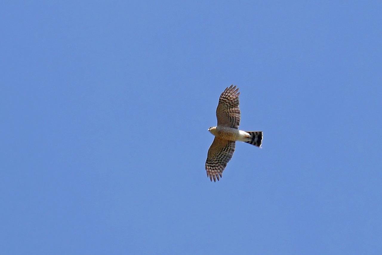 bird lore sharpshinned hawk my edmonds news