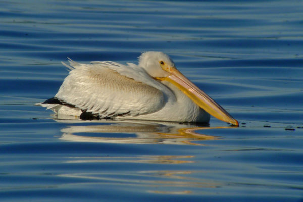 Bird Lore American White Pelican My Edmonds News