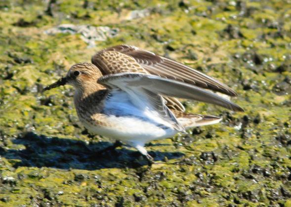 Fall Bird Migration Times South Padre Island Texas