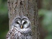 Barred owl Pine Ridge Park Sept. 15 2018