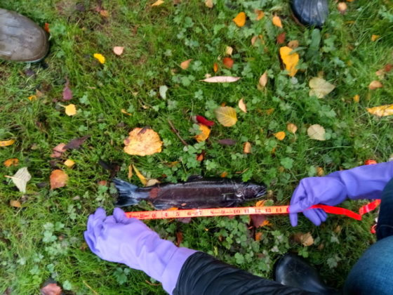 A student measures a dead salmon observed at the side of the creek.