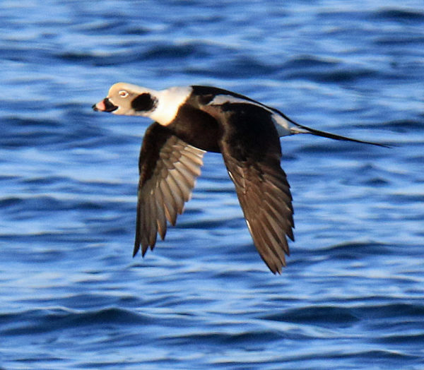 Long-tailed Duck (winter male)