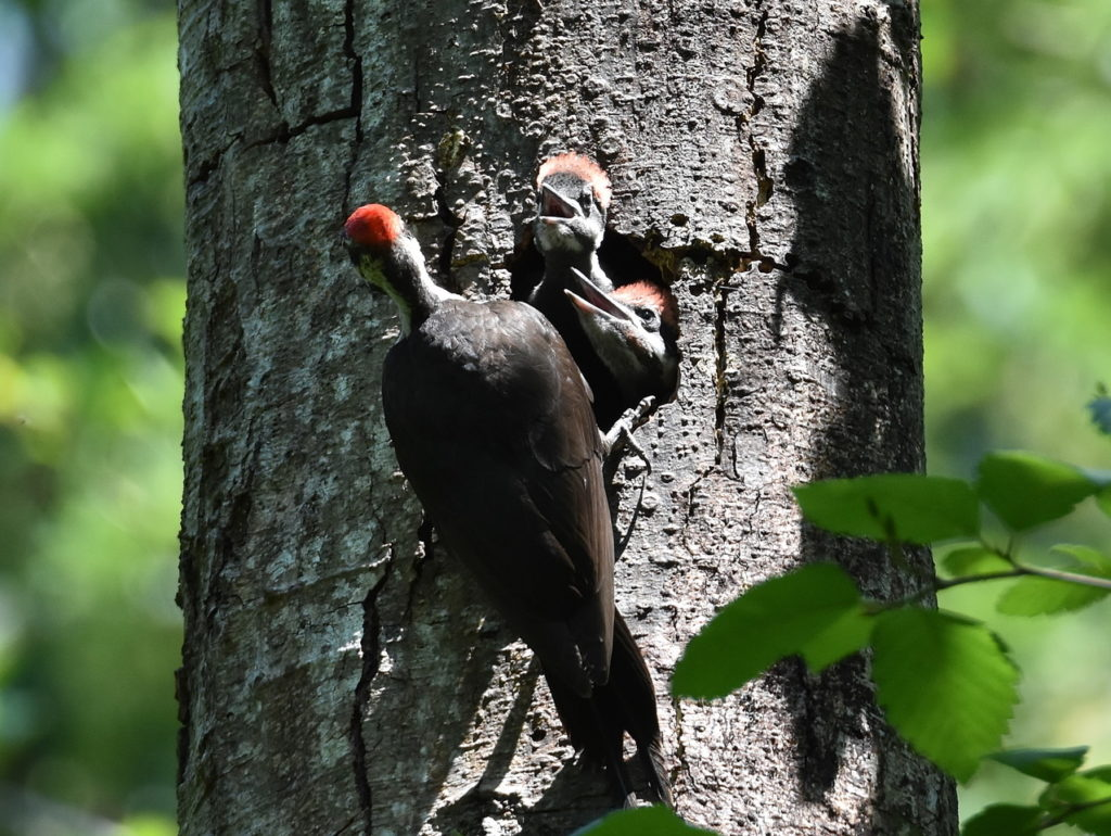 Scene In Edmonds Yost Park Pileated Woodpeckers My