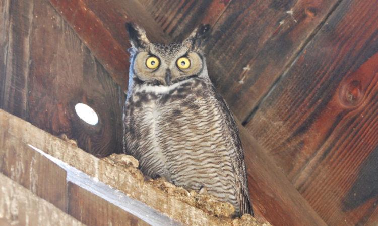 Bird Lore Great Horned Owl My Edmonds News